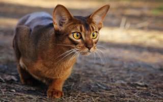 Абиссинская кошка соррель: особенности