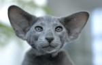 Сиамский кот ориентальной породы: кто он