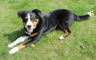 Тепловой удар у собаки: признаки и первая помощь