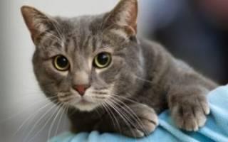 Диагностика и лечение кишечной непроходимости у кошек в домашних условиях