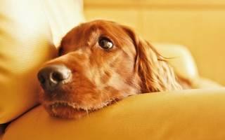 Густая кровь у собаки: причины, лечение, профилактика