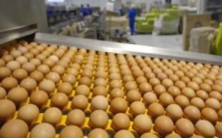 Яйца дикой утки: инкубация яиц