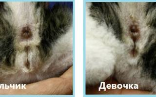 Когда можно определить пол котенка: советы опытных ветеринаров