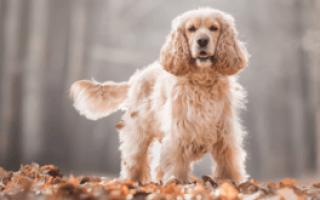 Кокер спаниель: описание породы