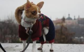 Почему маленькие собаки дрожат: выделяем множество неочевидных владельцу причин