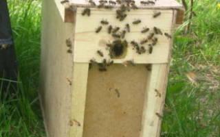 Пересадка пчёл из пчелопакета: важная информация для пчеловода