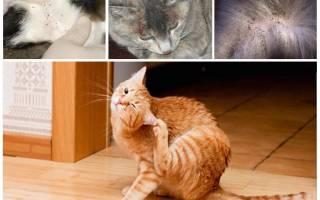 Как выглядят блохи у кошек? Знай врага в лицо!