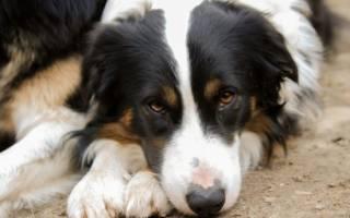 Чем кормить собаку при/после пироплазмоза?