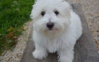 Мастоцитома у собак: общие сведения, симптомы, диагностика и методики лечения
