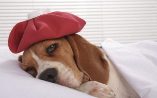 Какие болезни собак требуют вакцинации?