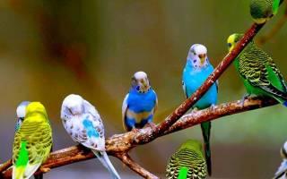 От чего зависит продолжительность жизни волнистых попугаев