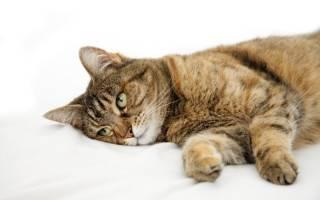 Отек легких у кота после кастрации: причины, симптомы, лечение