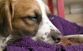 Инсульт у собаки: симптомы и лечение