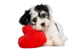 Эндокардит – заболевание сердца у собак и кошек