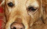 У собаки опухли глаза: причины и способы лечения