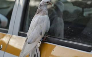 Что делать, если домашний голубь улетел