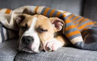 Золотистый стафилококк у собак: особенность заболевания и методы лечения