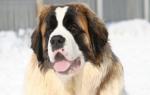 Ездовые породы собак: все признанные и не признанные породы