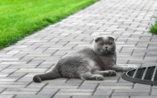 Британская вислоухая кошка: описание породы
