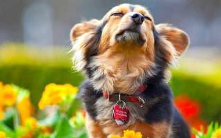 Как определить течку у собаки?