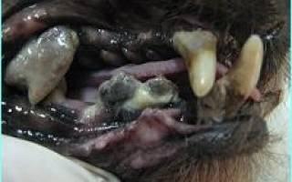 Заболевания полости рта у кошек