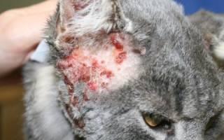 Волчанка — аутоиммунная болезнь у кошек