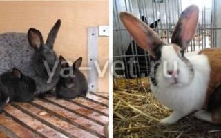 Заболевания кроликов: лечение пододерматита