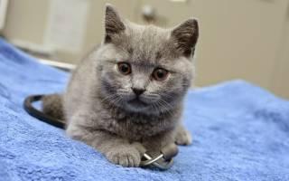 Тахикардия у кошек. Что делать, если сердце на пределе