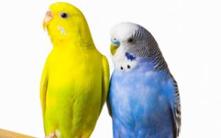 Поведение попугаев в брачный период: чего от них ждать