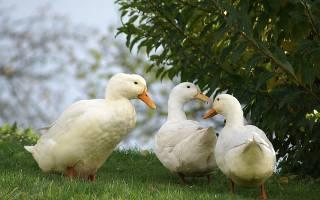 Уход за утками: советы птицеводу