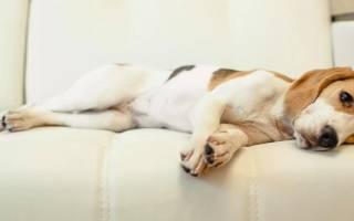 Почему нет течки у собаки
