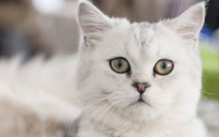 Скоттиш-страйт: питание кошки