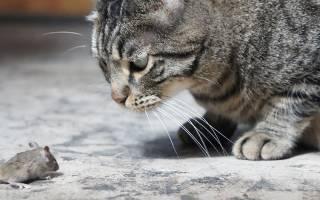 Токсоплазмоз у кошек: симптомы, лечение и профилактика