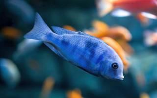 Рыбки аквариумные: голубые дельфины