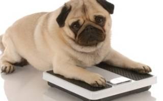 Разбираемся, чем нужно кормить свою собаку, чтобы она быстро набрала вес