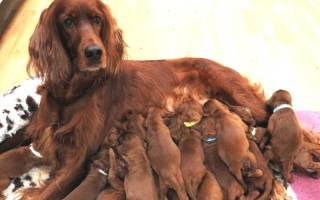 Лактостаз у собак: причины, диагностика, лечение